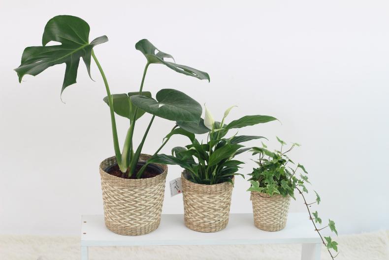 Rośliny pomocne w walce z kurzem