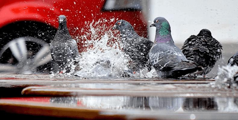 Jak się pozbyć gołębi