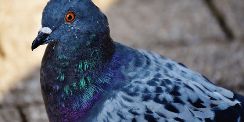 Jak się pozbyć gołębi na balkonie
