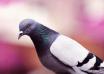 Jak się pozbyć gołębi z balkonu